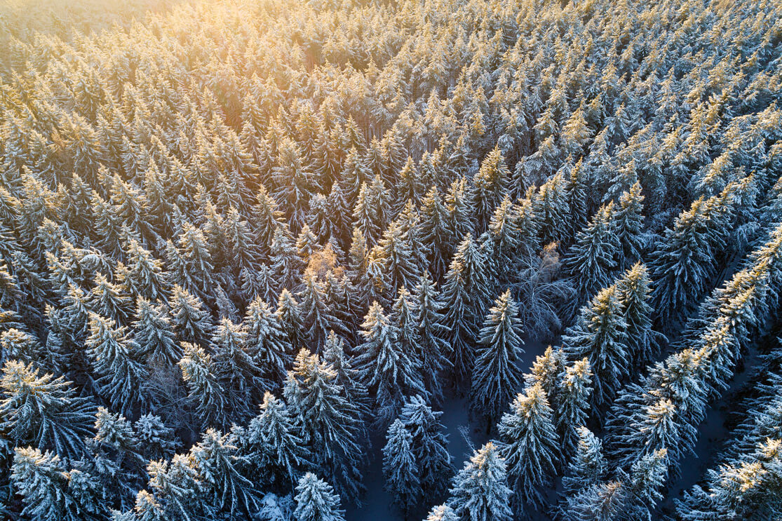An aerial view of a pine tree forest